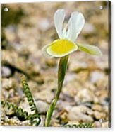 Moraea Serpentina Acrylic Print