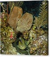 Moray Eel, Belize Acrylic Print