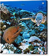 Moray Eel On A Reef Acrylic Print