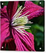 Morning Clematis Acrylic Print