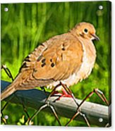 Morning Dove II Photoart Acrylic Print