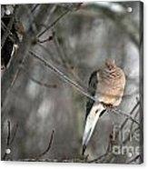 Morning Doves Acrylic Print