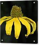 Morning Flower 2 Acrylic Print