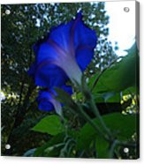 Morning Glory 01 Acrylic Print