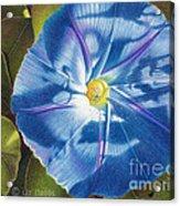 Morning Glory B Acrylic Print by Elizabeth Dobbs