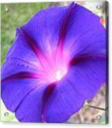 Morning Glory Fire Acrylic Print