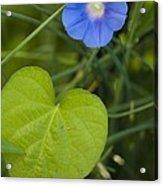 Morning Glory (ipomoea Hederacea) Acrylic Print