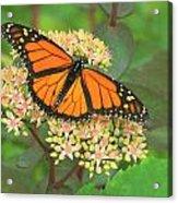 Morning Monarch Acrylic Print