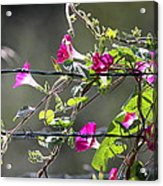 Morning Pink Acrylic Print