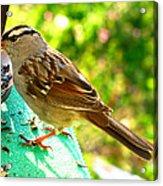 Morning Sparrow II Acrylic Print