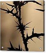Morning Thorns Acrylic Print