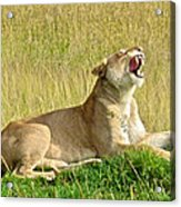 Morning Yawn Acrylic Print