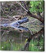 Morris Bridge Gator Acrylic Print