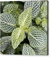 Mosaic Plant (fittonia Albivenis) Leaves Acrylic Print