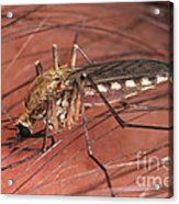 Mosquito Biting A Human Acrylic Print