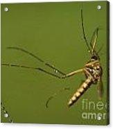 Mosquito Acrylic Print by Odon Czintos