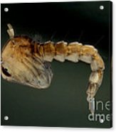 Mosquito Pupa Acrylic Print