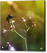 Mosquito Tiger Beefly Acrylic Print