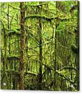 Moss-covered Trees Acrylic Print