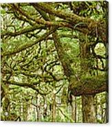 Moss-covered Trees Acrylic Print by David Nunuk
