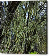 Moss Covered Trees Acrylic Print