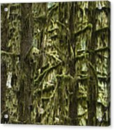 Moss Covered Trees, Hoh Rainforest Acrylic Print