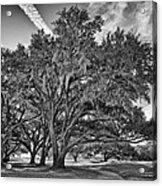 Moss-draped Live Oaks Acrylic Print
