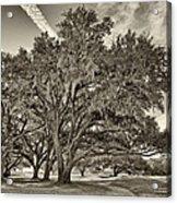 Moss-draped Live Oaks Sepia Toned Acrylic Print