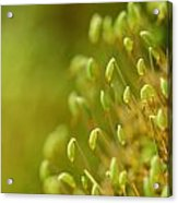 Moss With Capsules Acrylic Print