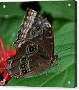 Moth I 2403 Acrylic Print