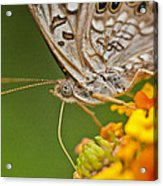 Moth On Flower Clusters Acrylic Print