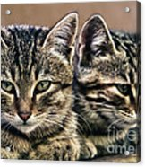 Mother And Child Wild Cats Acrylic Print