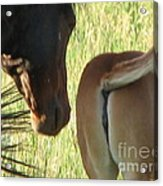Mother And Foal Acrylic Print