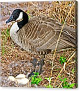 Mother Goose At Nest Acrylic Print by Susan Leggett