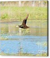 Mottled Duck In Flight Acrylic Print by Lynda Dawson-Youngclaus