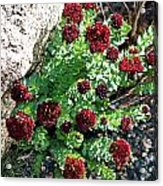 Mountain Blooms Acrylic Print