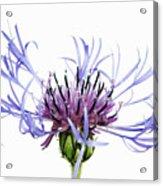 Mountain Cornflower (centaurea Montana) Against White Background Acrylic Print
