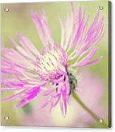 Mountain Cornflower Pink Acrylic Print by