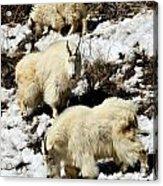 Mountain Goat Trio Acrylic Print
