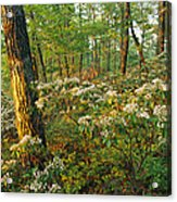 Mountain Laurel Blooming In A Hyner Acrylic Print