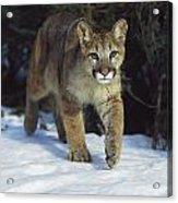 Mountain Lion Felis Concolor Idaho, Usa Acrylic Print