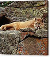 Mountain Lion Puma Concolor Lounging Acrylic Print by Gerry Ellis