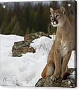 Mountain Lion Puma Concolor Sitting Acrylic Print