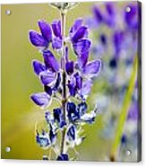 Mountain Lupine Glacier National Park Acrylic Print