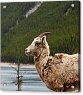Mountain Sheep 1639 Acrylic Print