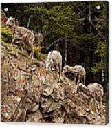 Mountain Sheep 1668 Acrylic Print