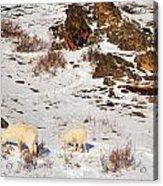 Mountain Sheep Acrylic Print