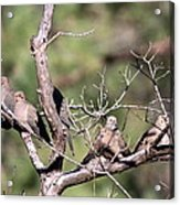 Mourning Dove - Board Of Directors Acrylic Print
