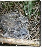 Mourning Dove Chicks Acrylic Print