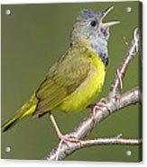 Mourning Warbler Oporornis Philadelphia Acrylic Print